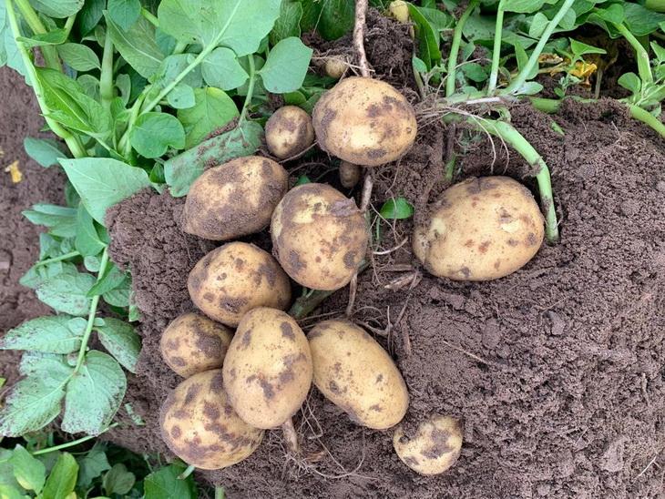 вот вопрос, как начинает расти картошка фото представят