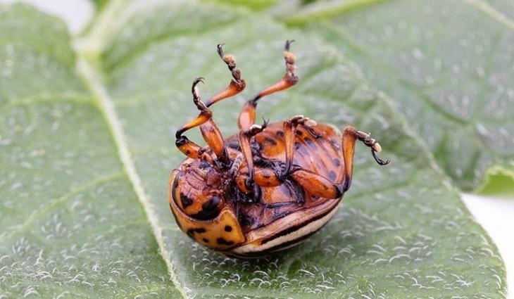 Атом КЭ против колорадского жука