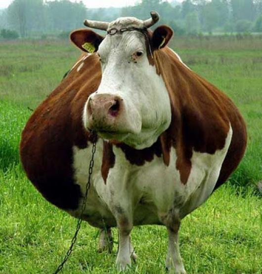 Как определить у коровы беременность