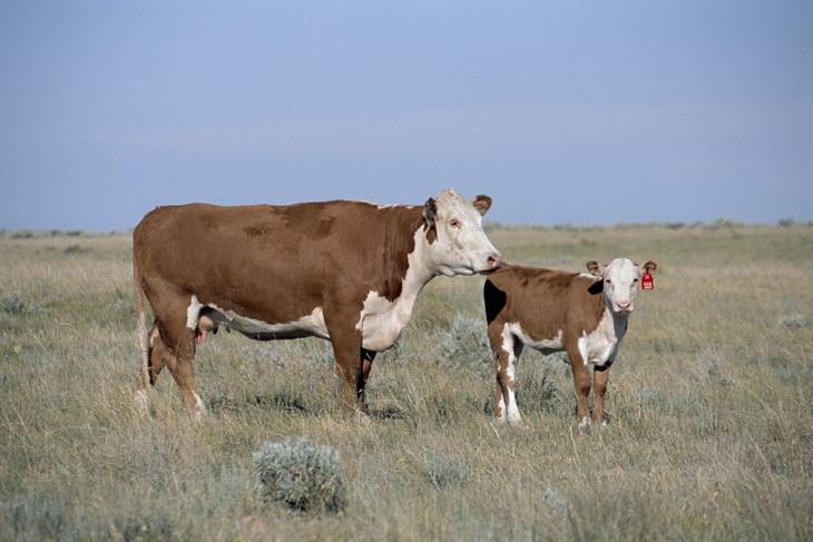 корова и теленок породы герефорд