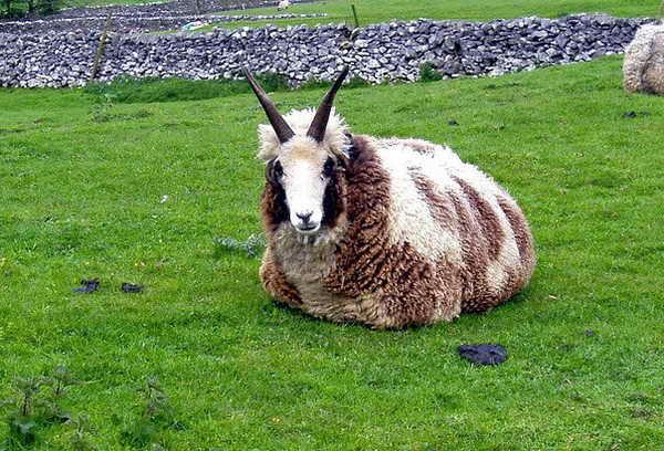 гибрид козы и овцы