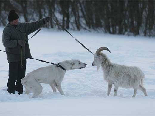 Коза из снега своими руками