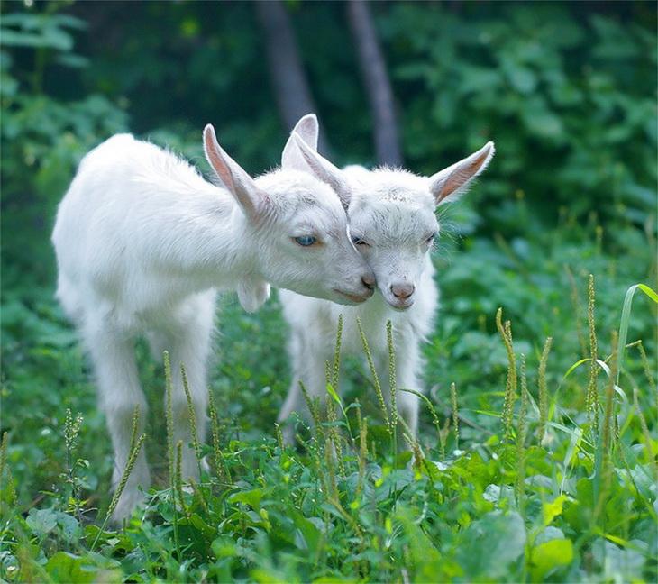 козлята на лугу
