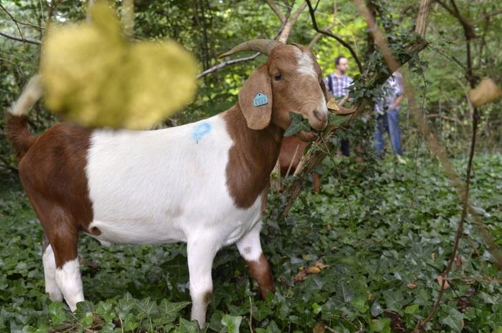 коза ест плющ