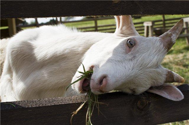 коза пролезает в забор