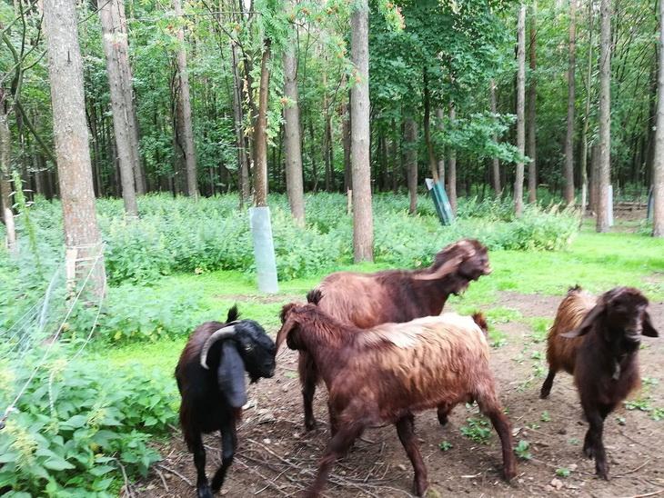 козы шами в России где купить