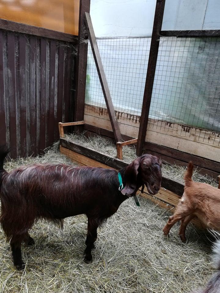 козы шами содержание