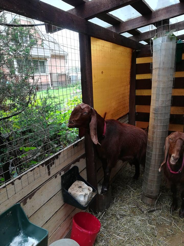 козы шами