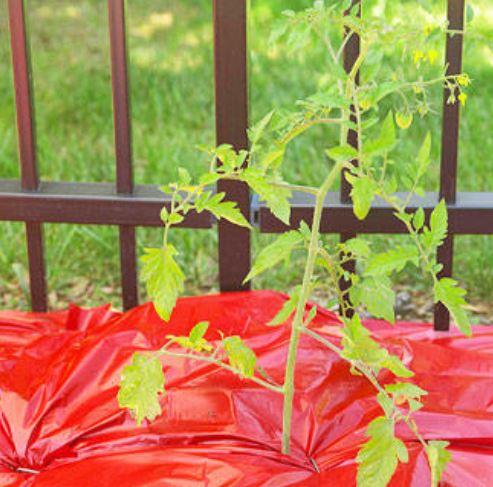 красная мульча для томатов