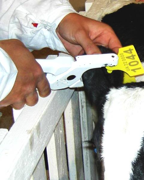 крепление бирки теленку