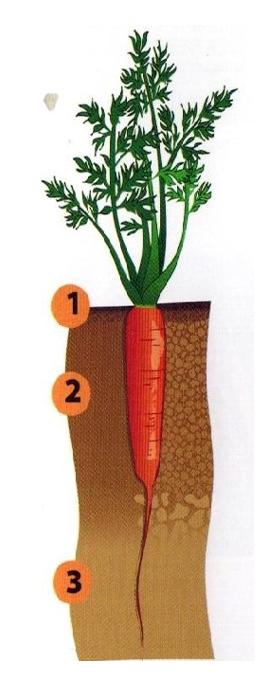 морковь как бизнес