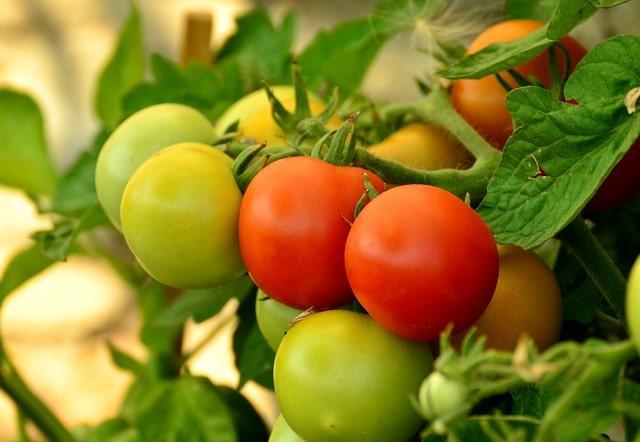 морозостойкие томаты