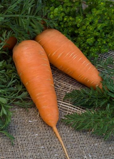 Изображение - Выращивание моркови как бизнес moskovskaja-zimnjaja(1)