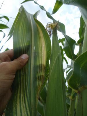 нехватка цинка у растений кукурузы