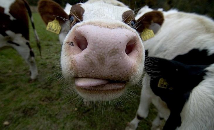 коровий нос