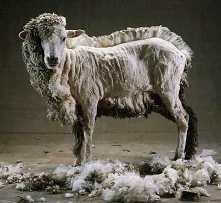 овца после стрижки