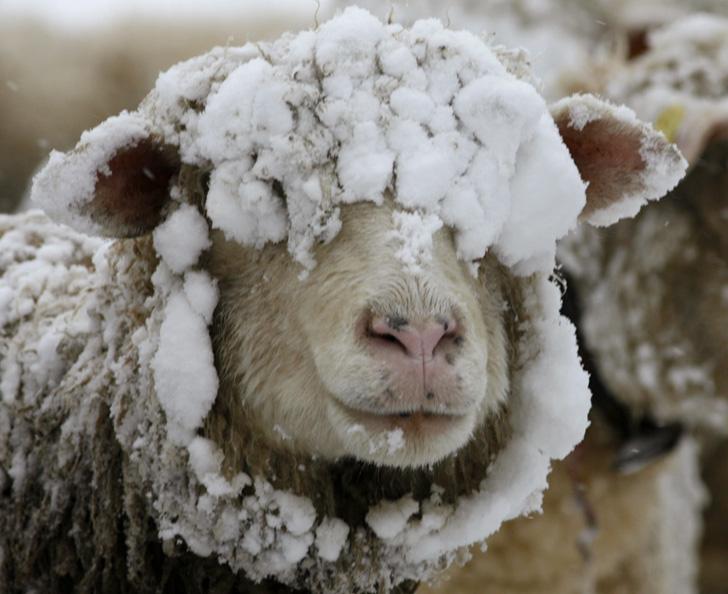 овца в снегу