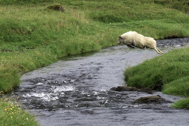 овца прыгает