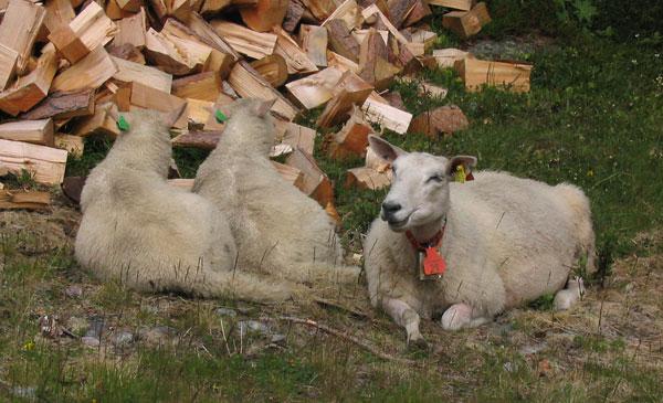 овцы с бирками