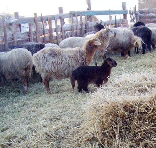 овцы во дворе возле сена