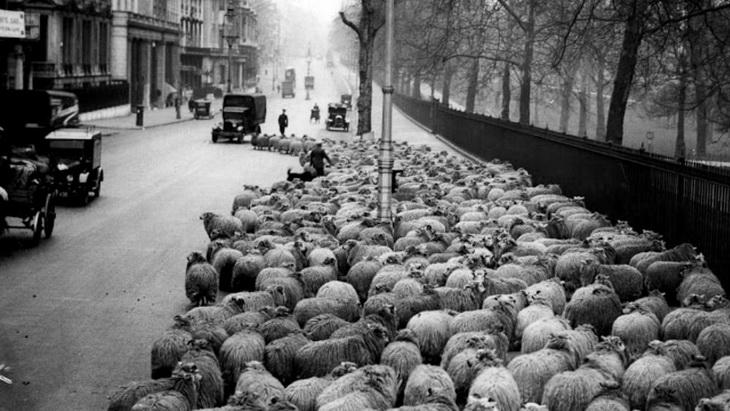 овцы как садовники