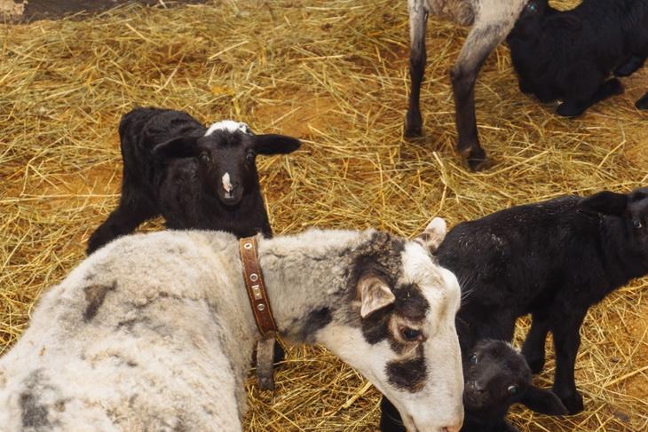 овцы курдючной породы