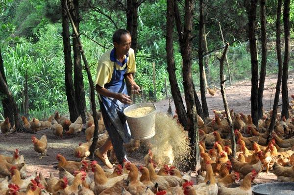 фермер кормит кур