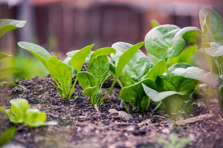 Феноменальный шпинат – 5 причин выращивать этот суперпродукт в своем огороде - фото