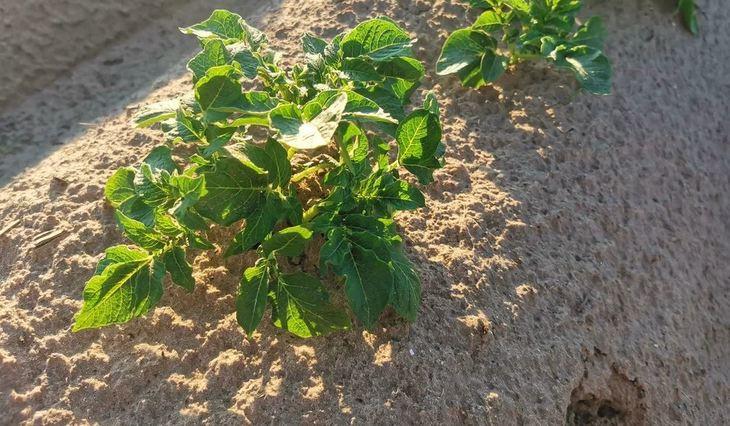 Как подкислить почву под картофелем, помидорами и гортензиями - фото