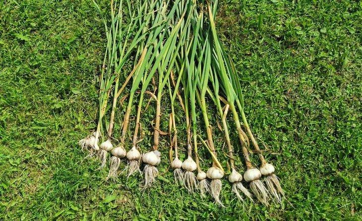 Что посадить после чеснока – 3 беспроигрышных варианта - фото