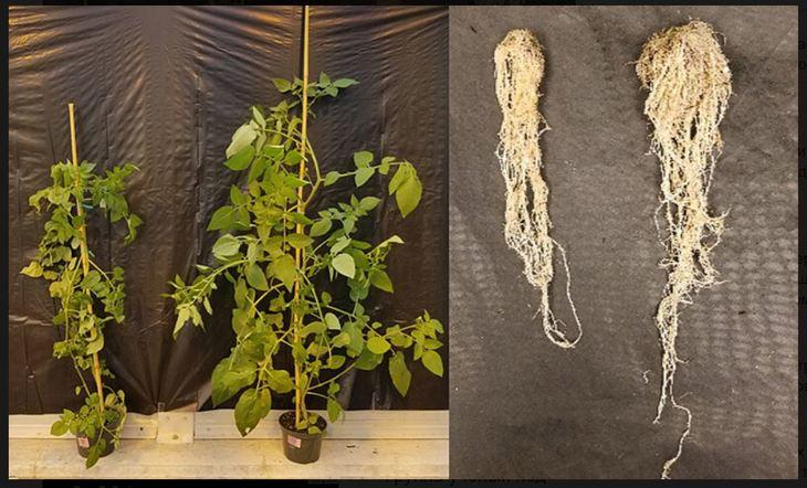Органическим помидорам хотят вернуть утраченную дружбу с полезными почвенными микробами - фото