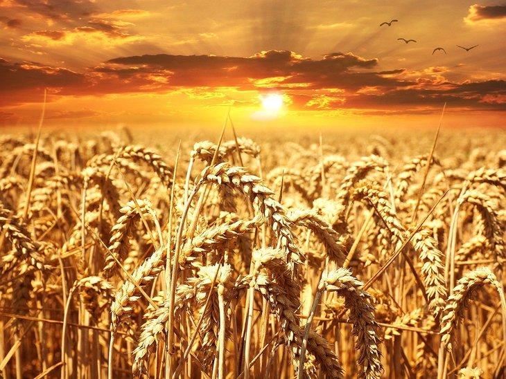 Я тебя породила: российская пошлина на экспорт пшеницы провоцирует бомбические цены в Евросоюзе и США - фото