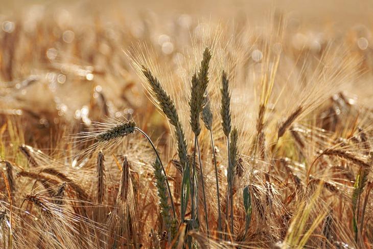 Наводнения в Европе и засуха в США стали причиной повышения биржевых цен на пшеницу