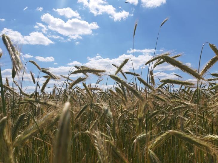 Владимирский филиал Россельхозцентра проверяет сортовые посевы на полях