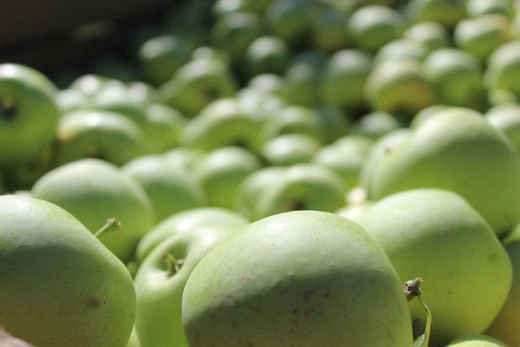 В Республике Крым стартовал сбор яблок
