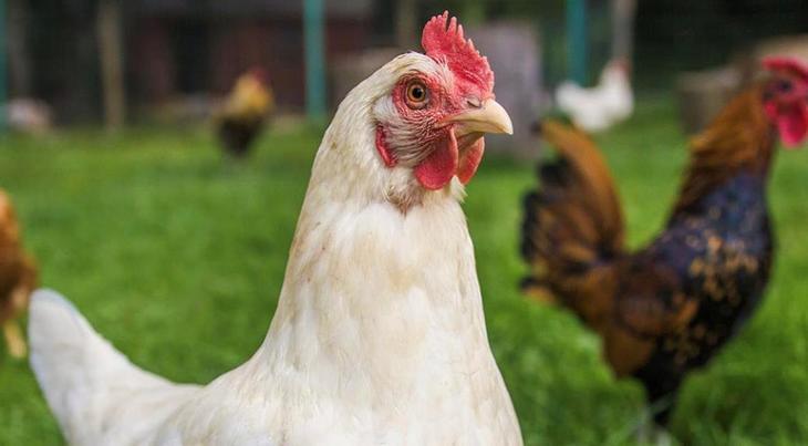 KFC И Pizza Hut объявили о переходе на бесклеточное содержание в России к 2030 году, что затронет миллионы кур