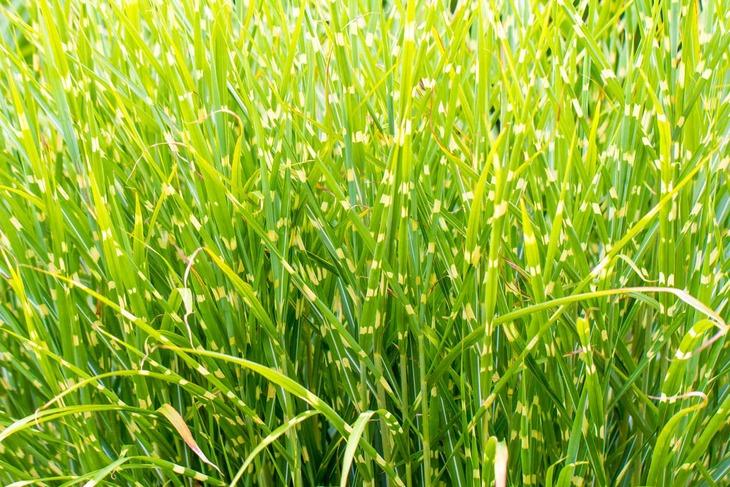 Британские ученые превращают мискантус в биотопливо