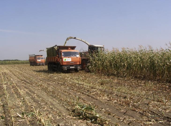 Смешанные посевы кукурузы и сорго-суданкового гибрида на силос дали отличный результат