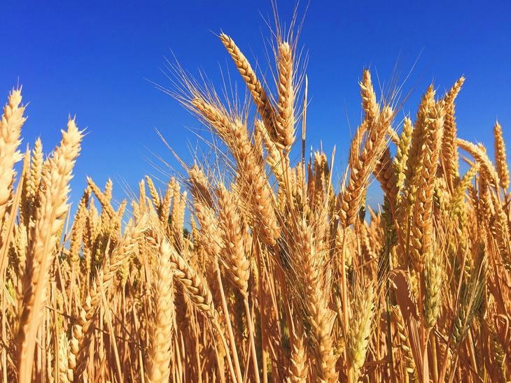 В России собрано свыше 95 млн тонн зерна по данным на 7 сентября 2021