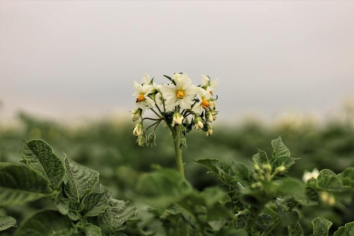 К 2025 году урожай российского картофеля составит порядка 7,5 млн тонн