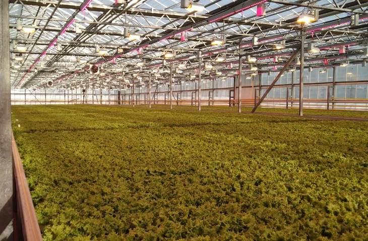 В совхозе «Тепличный» освещение Philips улучшило качество и внешний вид салата, снизив потребление электричества на 20%