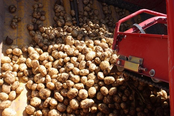Brexit привел к дефициту семенного картофеля в Великобритании