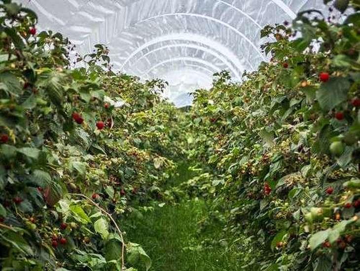 На 320 тысяч фунтов сгнило продукции в теплицах у крупнейшего поставщика овощей закрытого грунта в Великобритании