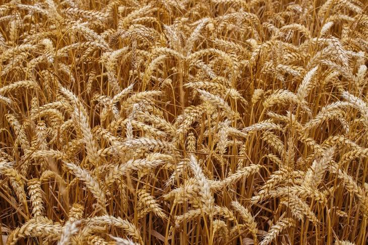 Качество российской пшеницы урожая 2021 превышает ожидания