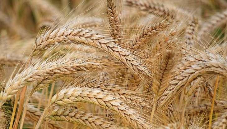 «Россельхозцентр»: почти 45% обследованной пшеницы в России относится к 3 классу