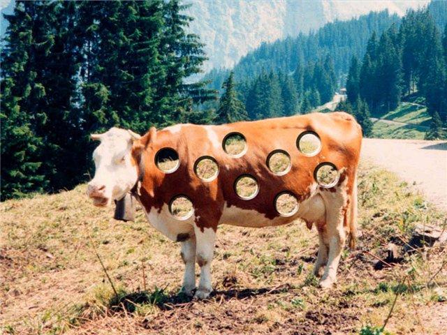 корова питается неправильно