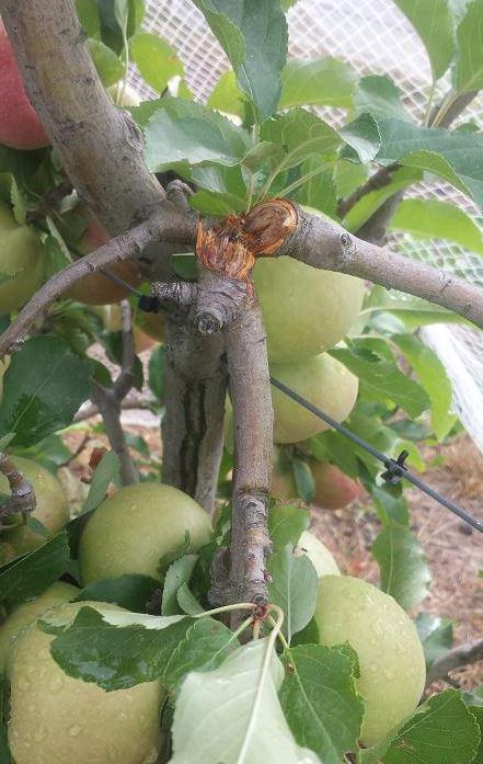 поврежденная яблоня
