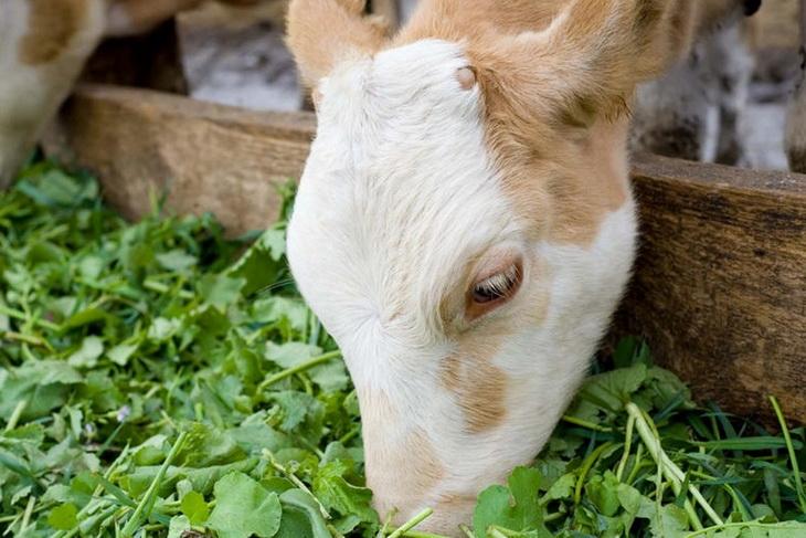 Приучение телят к поеданию растительных кормов
