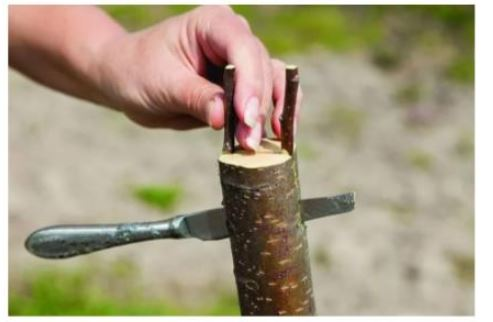 прививка яблони в расщеп