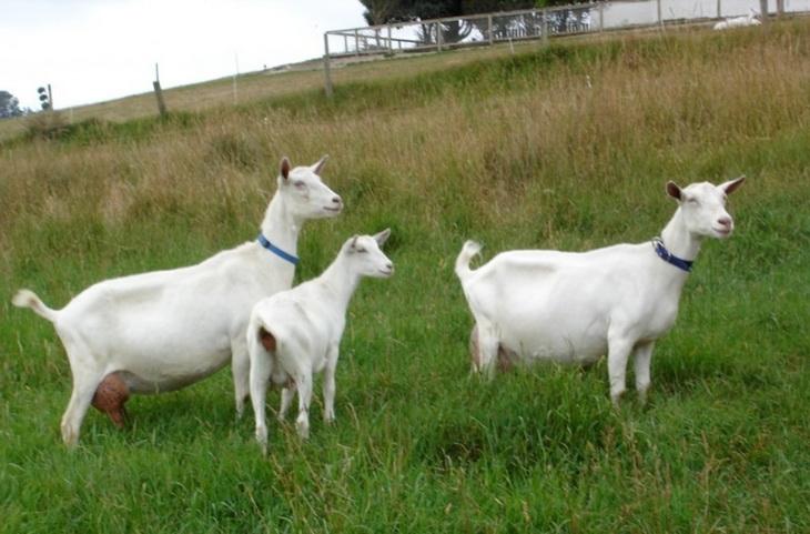 Зааненская козы